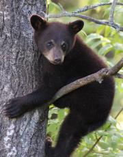 Staying safe in black bear country
