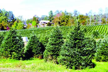 While the area is slowly emerging from the shortage in Fraser fir trees from the 2008-2010 market crash, other creative means to cover the shortfall have been implemented.