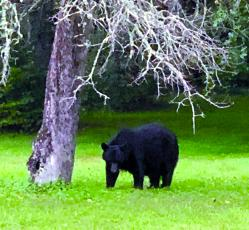 This adult bear, along with as many as four others, has been seen and photographed in the Cashiers area recently and in the vicinity of Chestnut Square.